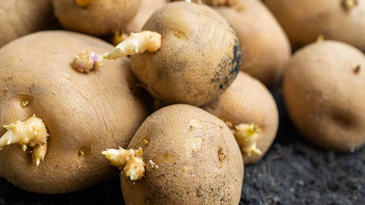 Comment faire pour empêcher vos pommes de terre de germer ?