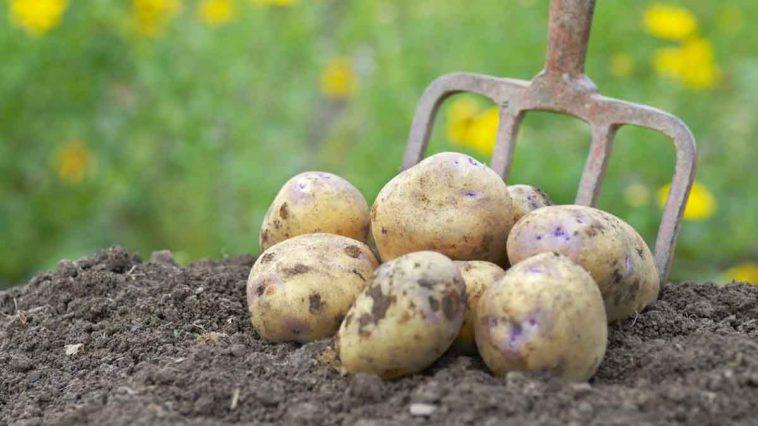 Voici les 06 bienfaits de la pomme de terre pour la santé